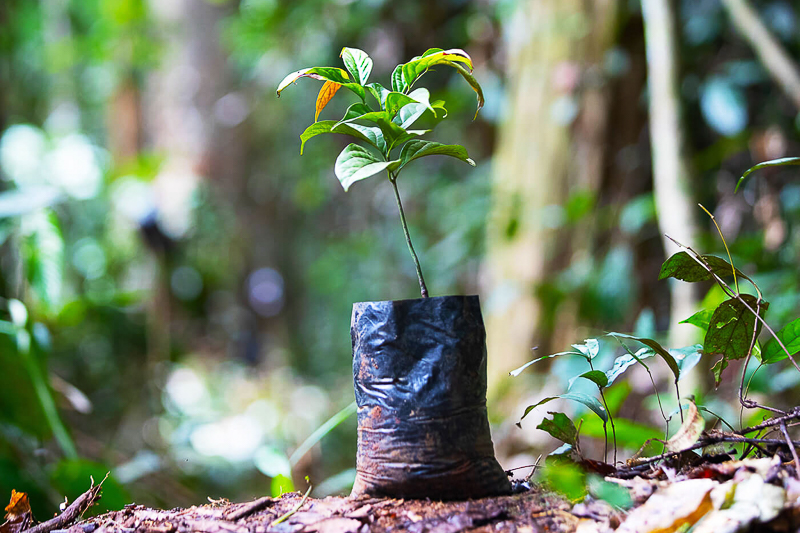 plant d'ébène taylor